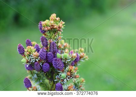 Little Spruce With Violet Flower Buds And Young Growing Spruce Cone On Green Blurred Grass Backgroun
