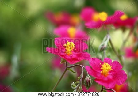 Beginning Of Summer.in A Decorative Garden The Helianthemum Bush Blossoms In Pink Flowers With Yello