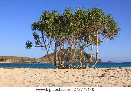 Palm Like Plant Growing On Sandy Beach In Lombok. Kuta Lombok Is An Exotic Paradise On The Indonesia
