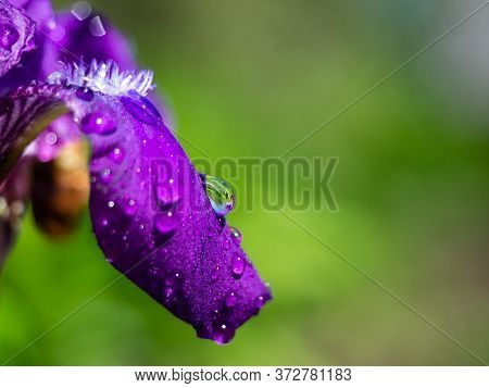 Bright Purple Iris Flower With Dewdrops Or Rain Close-up. Beautiful Flower Petals On A Green Blurred