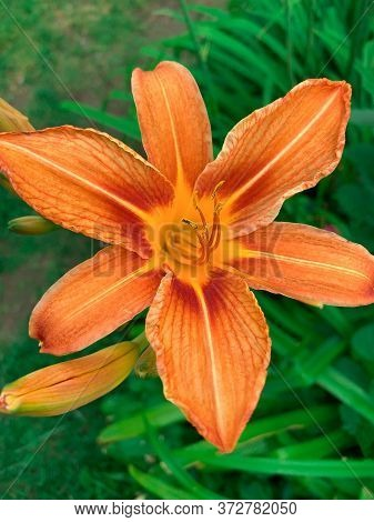 Orange Flower Lily. Bright Greens. Delicate Petals. Summer Plants. Pestle And Stamens.