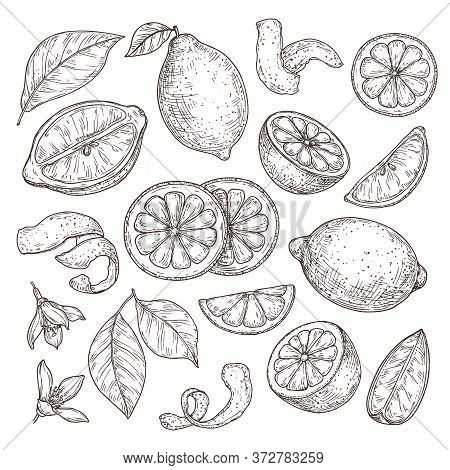 Lemon Sketch. Hand Drawn Oranges Lime, Pencil Drawing Citrus Flowers, Blossom Branch And Zest. Isola