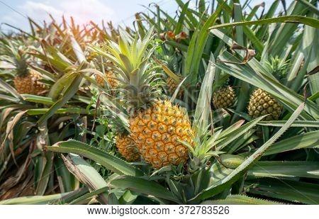 Pineapple fruit on the plantation farm