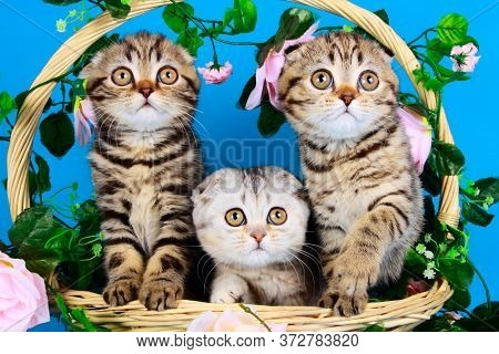 Little Pretty Purebred Kittens In The Basket Are Watching Closely