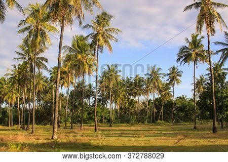 Exotic Palm Trees On Green Tropical Field In Warm Afternoon Sun Light, On Gili Air Island, Lombok, I
