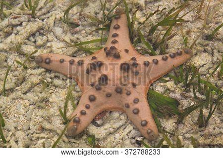 Orange Sea Star On Sandy Ocean Floor With Green Algae In Tropical Waters