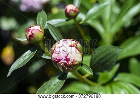 The Photo Of Several Bulbs Of A Peony In The Sun