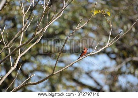 Vermilion Flycatcher (pyrocephalus Rubinus) In A Tree