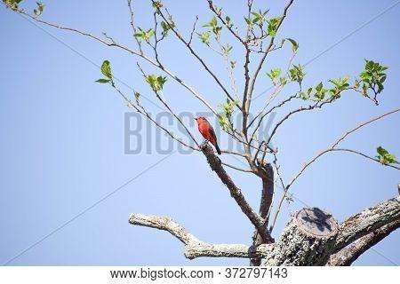 Vermilion Flycatcher Bird In Tree At Daylight