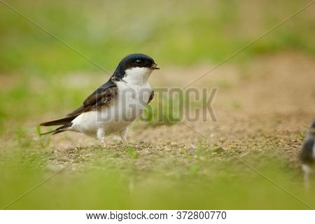 Common House-martin - Delichon Urbicum, Also Called Northern House Martin, In Pakistan As Ababeel, M