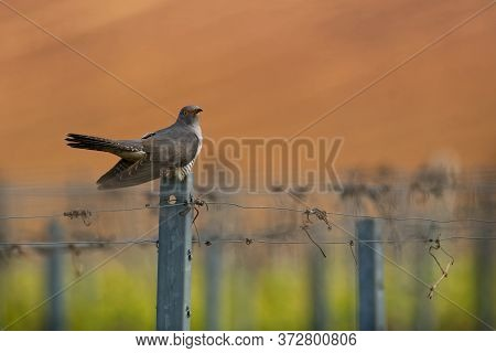 Cuculus Canorus - Common Cuckoo In The Fly, Widespread Summer Migrant To Europe And Asia, And Winter