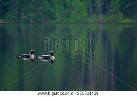 Two Arctic Loons On Beautiful Lake In Finland In The Morning. Also Called Black-throated Loon (gavia