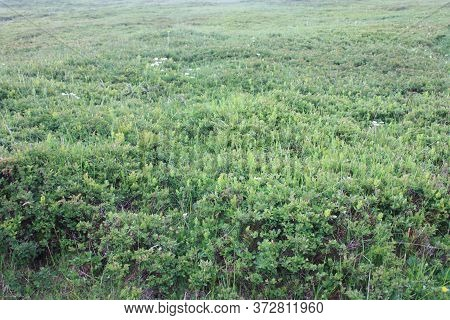 Esplanade Expanse Of Green Field Of Blueberry Plants In Nature
