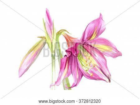 Watercolor Flower Of Blossoming Gentle Pink Lilly With Green Leaf And A Bud