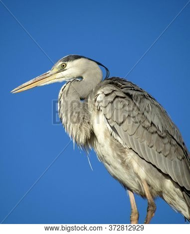 Big Migratory Bird On Blue Sky Background. Stork In Egypt. Beautiful Bird With Big Beak