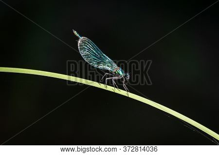 Green Dragonfly Laid On A Blade Of Grass, Image Of A Large Insect On A Dark Background