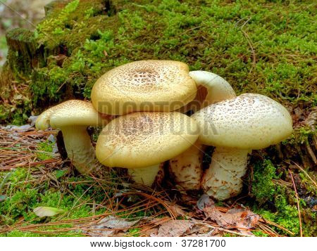 A group of mushrooms in Cades Cove, Great Smoky Mountains National Park, Tennessee. poster