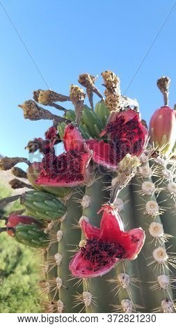 Open, Ripe Saguaro Fruits Showing Seeds And Flesh