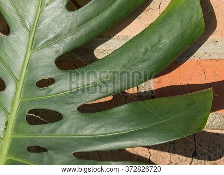Close-up Of A Monstera Leaf Against An Orange Brick Wall With Hard Shadows. Growing Green Tropical L