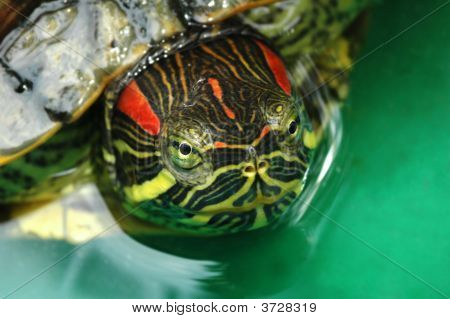 Macro shot of tortoise Red-eared Sliders (Trachemys scripta elegans) with focus on eyes poster