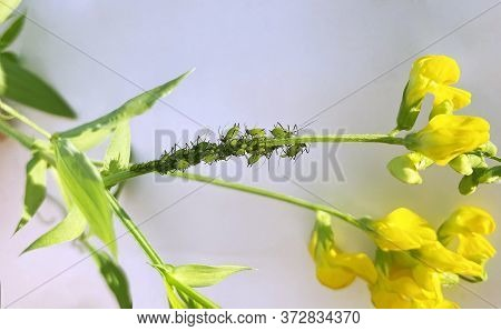 Aphid Colony Is Breeding On Plant Stem Of Lathyrus Pratensis. Green Aphids And Yellow Flower. Aphido