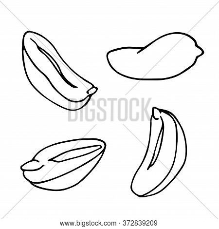 Set Of Peeled Peanuts Kernels, Element Of Decorative Ornament Or Pattern, Vector Illustration With B