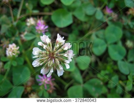 Close Up Of White Clover Flower In Pasture In Spring On Blurred Background. A Trefoil Flower. Trifol