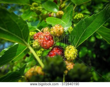 Close-up Of Mulberries Or  Morus Growing On Tree In Spring. Red Mulberry In Tree Branch In Garden In