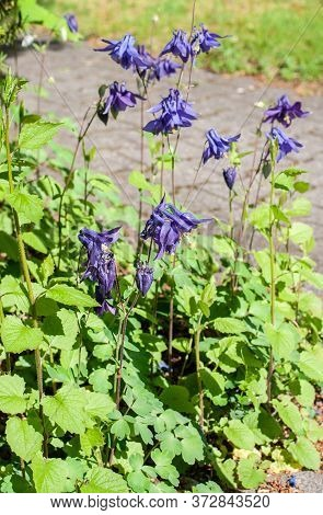 Aquilegia Vulgaris Or Common Columbine Flowers With Blue Petals In A Garden