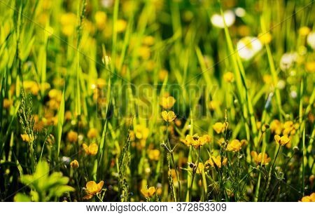 Nature Floral Background. The Flower Of The Buttercup Acrid,long-term With The Name Of