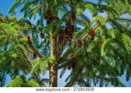 A Green Pine Tree With Brown Pinecones And A Bright Blue Sky As A Background In Scania, Southern Swe