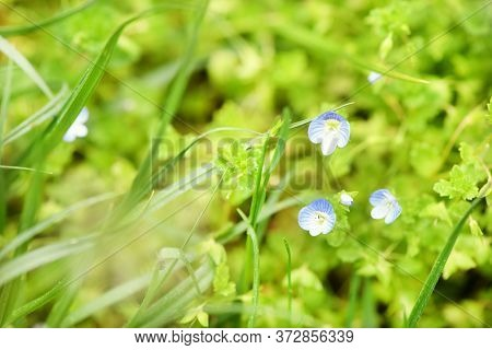 Veronica Chamaedrys, The Germander Speedwell, Bird's-eye Speedwell, Or Cat's Eyes. Is An Herbaceous