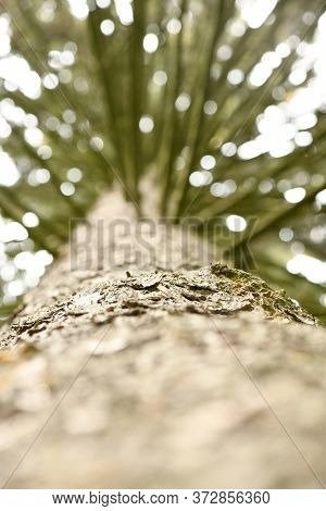 Looking Up The Spruce Tree Trunk With Dry Branches. The Bark Of A Tree Close Up. Tree Trunk View Fro