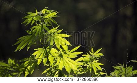 Hemp Thickets.medicinal Herb Of The Southern Region.marijuana Flower Blooming Medical Cannabis Plant