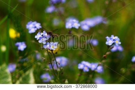 Nature Floral Background. An Insect On A Forget-me-not Flower. Forget-me-not Flowers On A Background