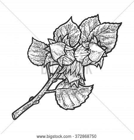 Hazel With Nuts Sketch Engraving Vector Illustration. T-shirt Apparel Print Design. Scratch Board Im