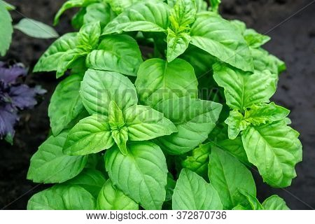 Green Seedlings Of Basil. Close Up Photo Of Plants. Selective Focus. Basil Leaves. Copying Space