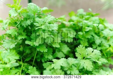 Coriander Is Loaded With Antioxidants, Vitamin-a, Vitamin-c And Minerals. Coriander On Field.