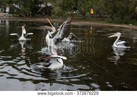 The Australian Pelicans, Pelecanus Conspicillatus On A Water With Open Mouths Waiting For The Fish.