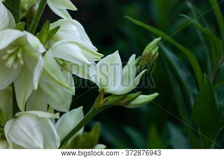 Amazing White Yucca Flowers With Green Leaves Background. Yuccas Plant Bush In The Garden.dark And M