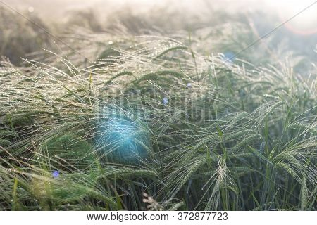 Morning Sun And Ears Of Barley With Morning Dew, The Brilliance Of The Suns Rays In The Lens. Dewdro