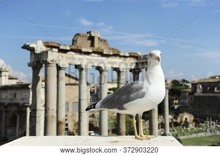 Friendly Seagull Against The Backdrop Of The Roman Forum In Rome, Italy. Roman Forum Is One Of The M