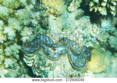 Giant Clam From Egypt