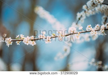 White Young Spring Flowers Of Prunus Subg. Cerasus Growing In Branch Of Tree