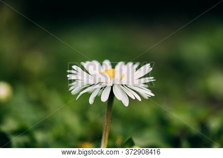 Blooming Wild Flower Matricaria Chamomilla Or Matricaria Recutita Or Chamomile. Commonly Known As It
