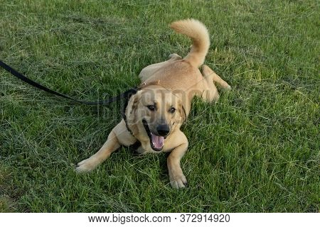 Red Fawn Purebred Dog, A Mixture Of A Retriever With A Mongrel. A Cheerful, Contented Dog With A Har