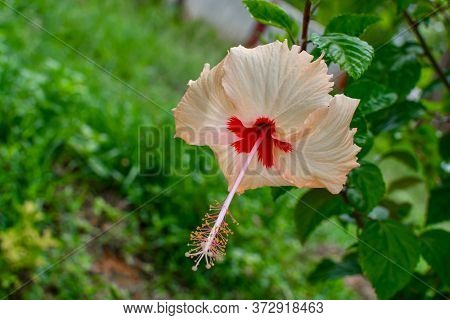 Wite Chaina Rose Mandar Flower With Green Leaves & Branches At The Garden 01