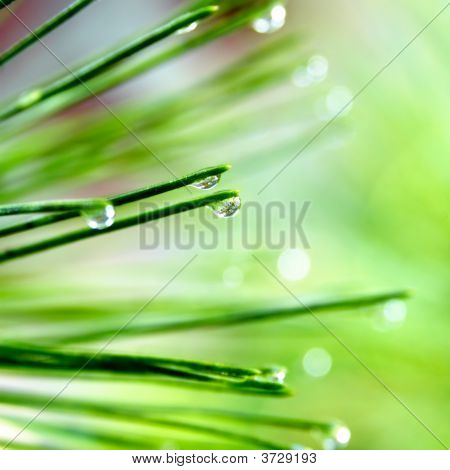 Pine Needle With Dewdrops