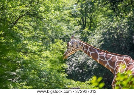Chicago Brookfield Zoo\n\nchicago, Il Usa, June 23, 2018, A Giraffe At Brookfield Zoo, (for Editoria