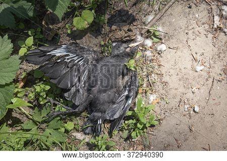 Large Black Dead Bird The Western Jackdaw Died Of Water Shortage
